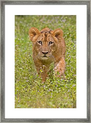 Stalking Practice Framed Print by Ashley Vincent