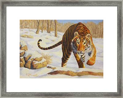Stalking Siberian Tiger Framed Print by Crista Forest