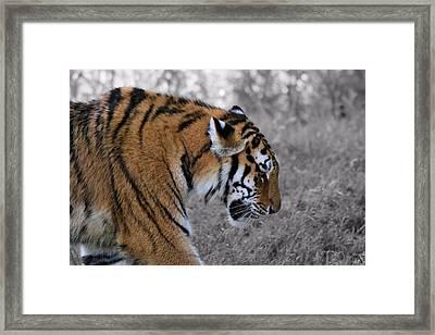 Stalking Tiger Framed Print by Dan Sproul