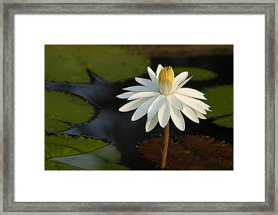 Stand Tall Lily Framed Print