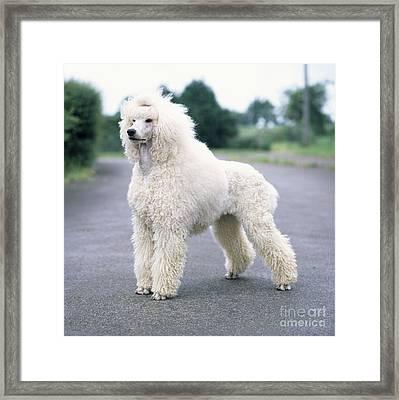 Standard Poodle Dog, Unclipped Framed Print
