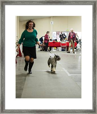 Standard Schnauzer Framed Print by Dog Show Video