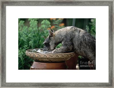 Standard Schnauzer Drinking Framed Print by James L. Amos