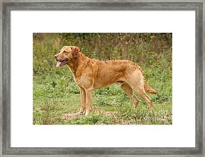 Standing Chesapeake Bay Retriever Dog Framed Print by Dog Photos