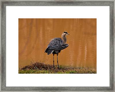 Standing Heron Fluffing Wings - 10333c Framed Print by Paul Lyndon Phillips