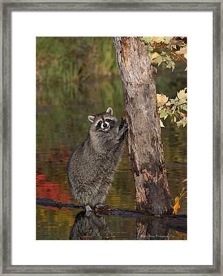 Standing Raccoon Framed Print