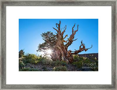 Standing Strong - Sun Burst View Of The Ancient Bristlecone Pine Forest. Framed Print by Jamie Pham