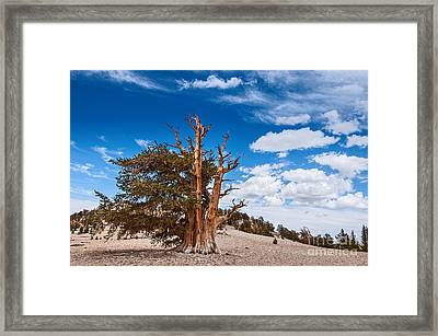 Standing Strong - View Of The Ancient Bristlecone Pine Forest. Framed Print by Jamie Pham