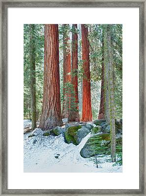 Standing Tall - Sequoia National Park Framed Print by Sandra Bronstein