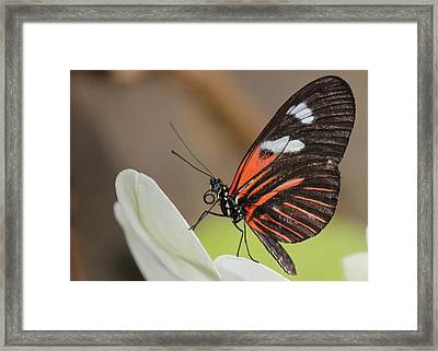 Standup Butterfly Framed Print