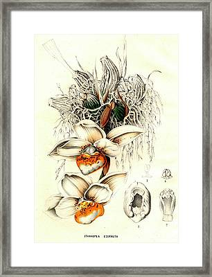 Stanhopea Ecornuta Orchid Framed Print by Collection Abecasis