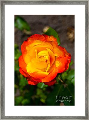 Stanley Park Rose Garden 6 Framed Print by Terry Elniski