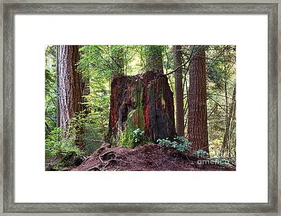 Stanley Park Tree Stump Framed Print
