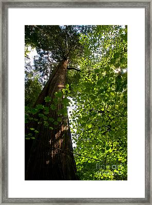 Stanley Park Trees 10 Framed Print by Terry Elniski