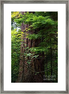 Stanley Park Trees 25 Framed Print