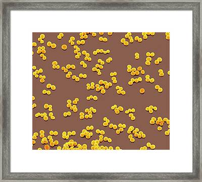 Staphylococcus Epidermidis Bacteria Framed Print by Steve Gschmeissner