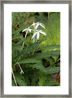Star Flower (hippobroma Longiflora) Framed Print by Bob Gibbons