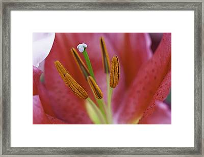 Star Gazer Lilly Macro Framed Print by Lesley Rigg