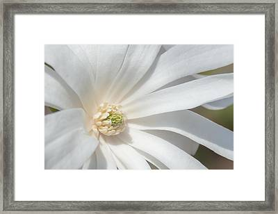 Star Magnolia Close-up Framed Print by Priyanka Ravi