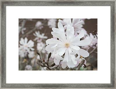 Star Magnolia Soft Framed Print by Priyanka Ravi