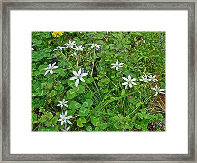 Star Of Bethlehem Wildflowers - Ornithogalum Umbellatum Framed Print by Mother Nature