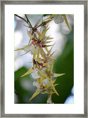 Star Orchids Framed Print