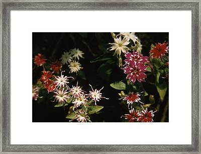 Star Phlox Framed Print by Retro Images Archive