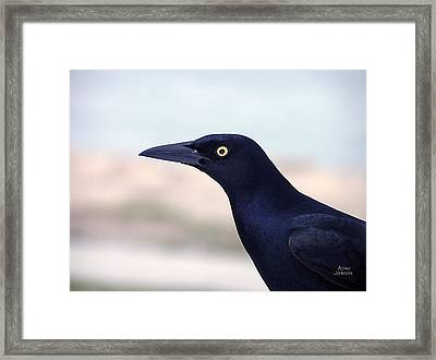Stare Of The Male Grackle Framed Print