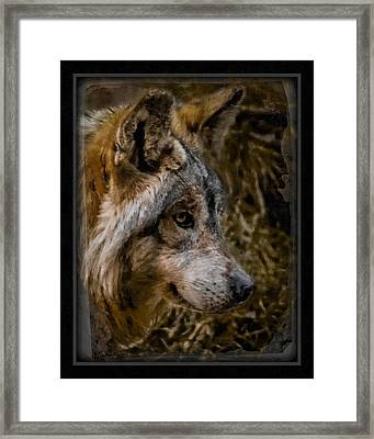 Stare Of The Wolf Framed Print by Ernie Echols