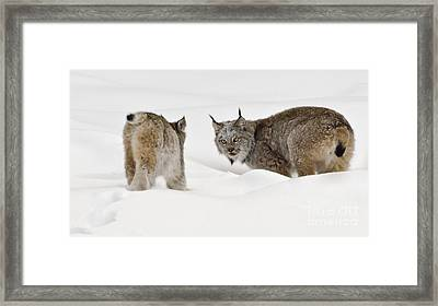Staredown Framed Print by Dee Cresswell