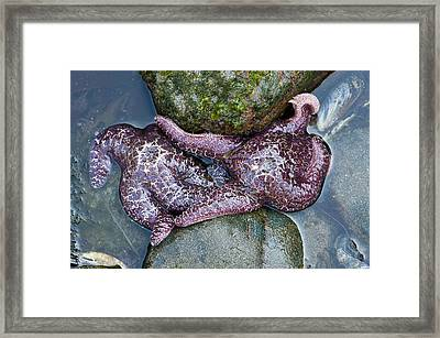 Starfish Crowded Between Rocks Framed Print by Sarah Crites