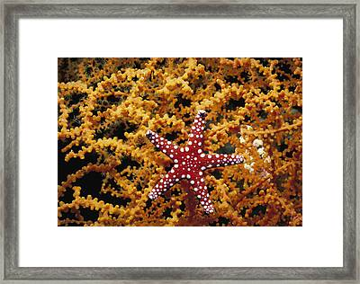 Starfish Feeding On Coral In The Red Sea Framed Print by Jeff Rotman