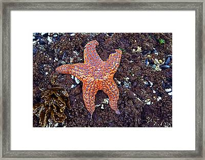 Starfish - Oregon Coastline Framed Print