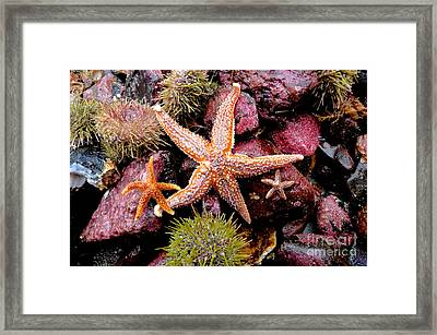 Framed Print featuring the photograph Starfish by Sarah Mullin