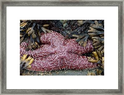 Starfish Surrounded Framed Print by Sarah Crites
