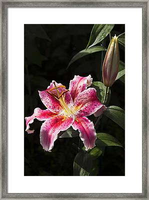 Stargazer Bloom And Bud Framed Print by Jennifer Nelson