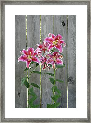 Stargazer Lily By Rustic Fence Framed Print by Anna Miller