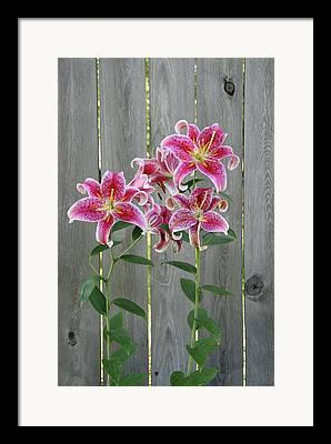 Lilium Stargazer Lily Framed Prints