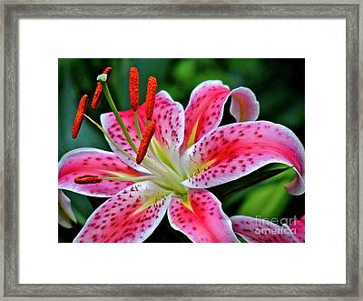 Stargazer Lily Framed Print by Eve Spring