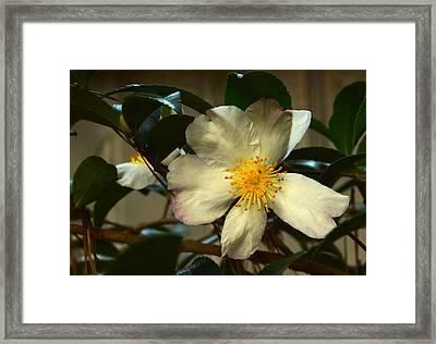 Starlet Framed Print