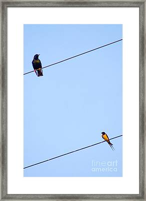 Starling And Swallow Framed Print
