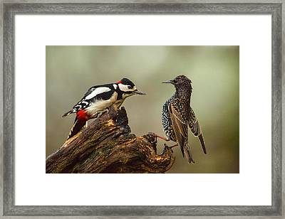 Starling And Woodpecker Stand Off Framed Print