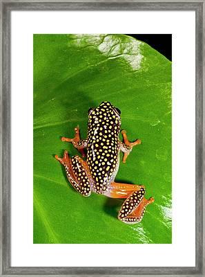 Starry Night Reed Frog, Heterixalus Framed Print by David Northcott