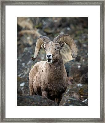 Framed Print featuring the photograph Startled Ram by Steve McKinzie