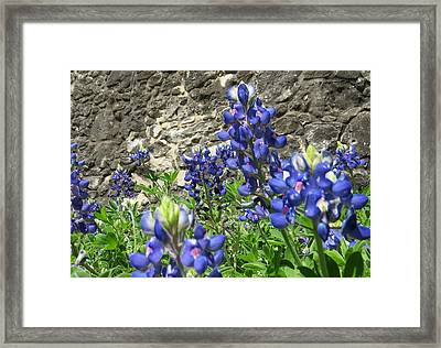 Framed Print featuring the photograph State Flower Of Texas - Bluebonnets by Ella Kaye Dickey