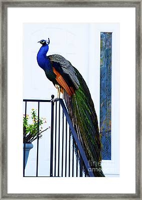 Stately Peacock Framed Print