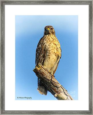 Stately Red-shouldered Hawk Framed Print by Barbara Bowen