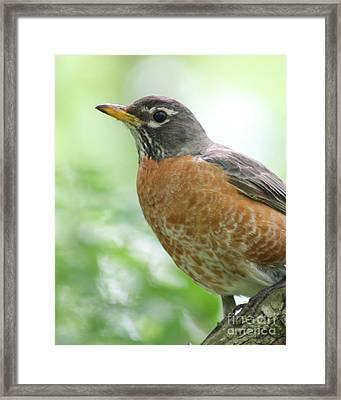 Stately Robin Framed Print