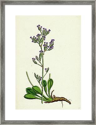 Statice Binervosa Var. Dodartii Lesser Sea-lavender Var Framed Print