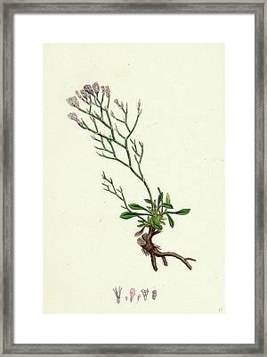 Statice Caspia Matted Sea-lavender Framed Print